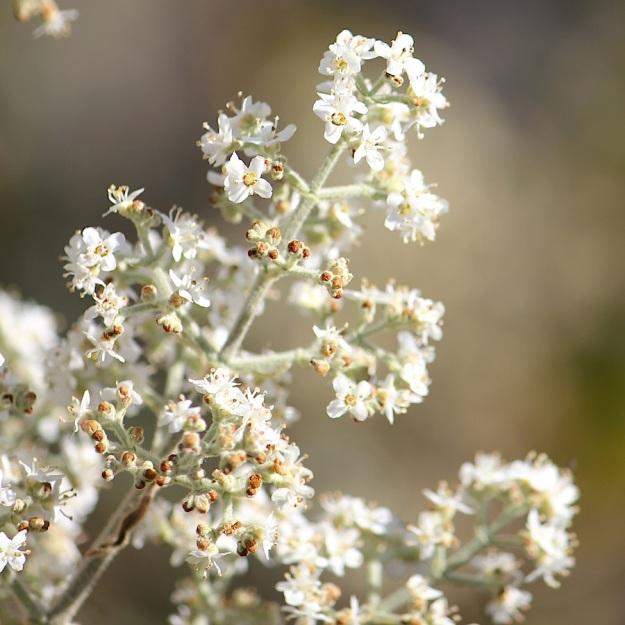 Plant Buddleja dysophylla