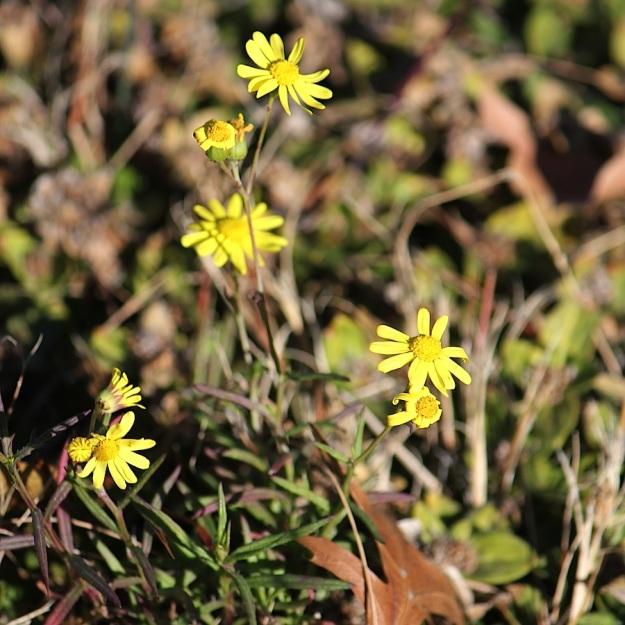Plant Euryops laxus