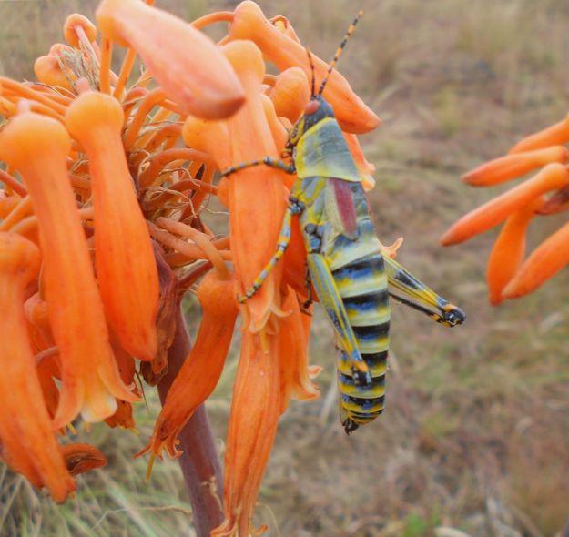 r aloe maculata grasshopper