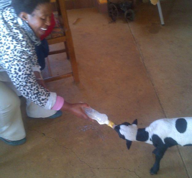 r entle feeding lamb4