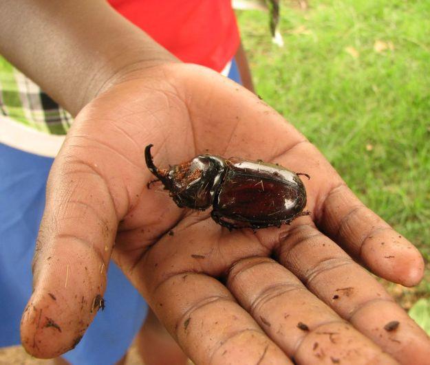 r rhino beetle