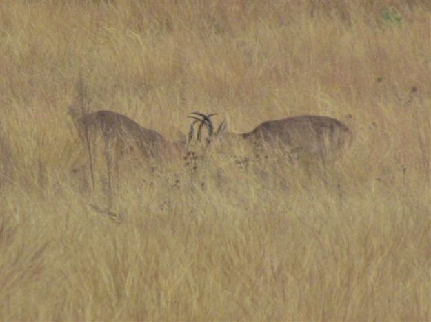 reedbuck fighting