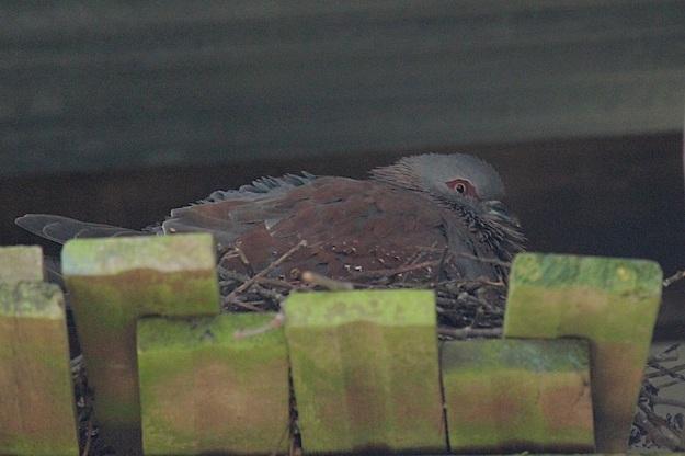 Bird Speckled Pigeon