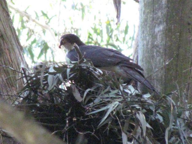 Blsck sparrow hawk feeding baby
