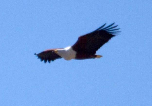 Boston_8445_African-Fish-Eagle