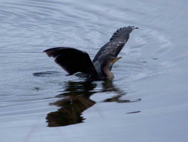 Boston_8502_Reed-Cormorant