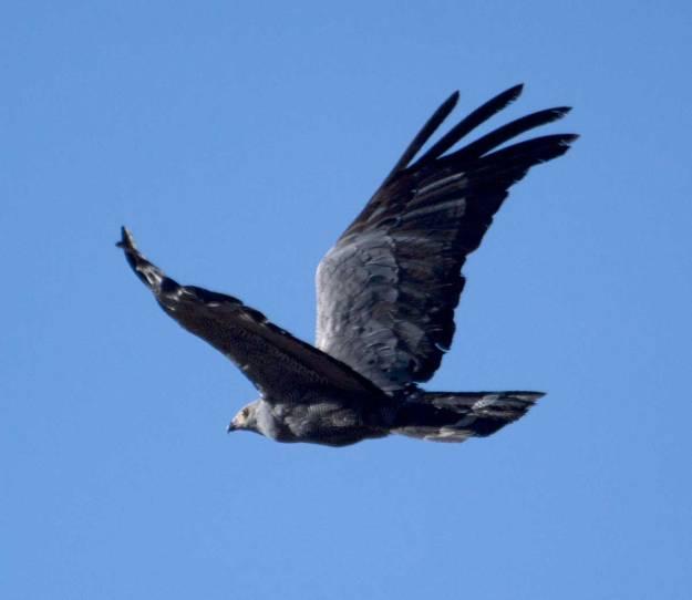 Boston_8543_African-Harrier-Hawk