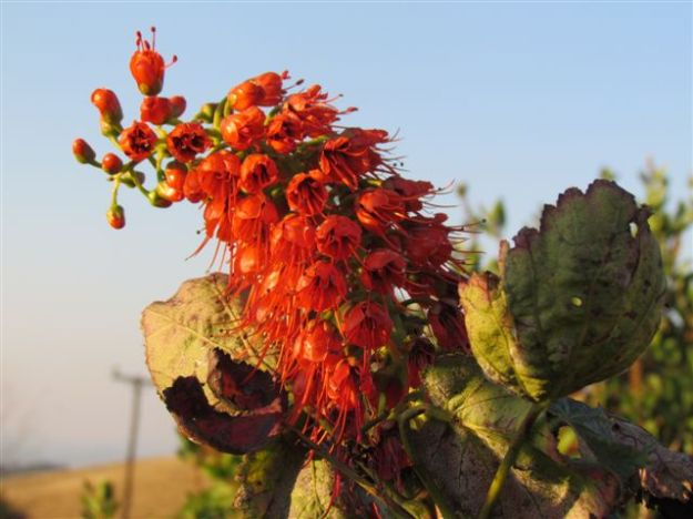 Broad leafed Coral tree before the frost arrived