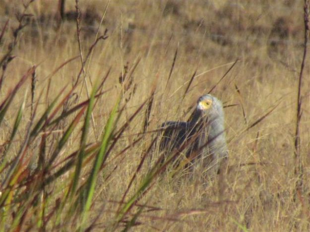 Gymnogene in long grass with prey