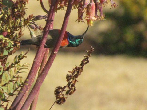 Lesser doublecollared sunbird.