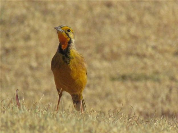 .Orange throated longclaw