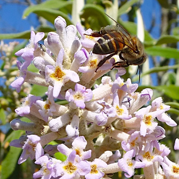 Plant Buddleja salviifolia with bee and weevil