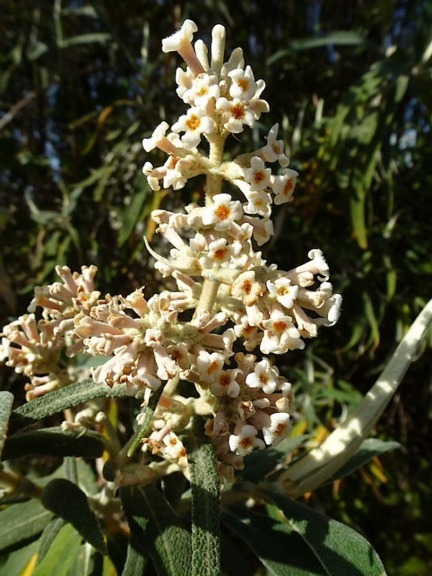 Plant Buddleja salviifolia