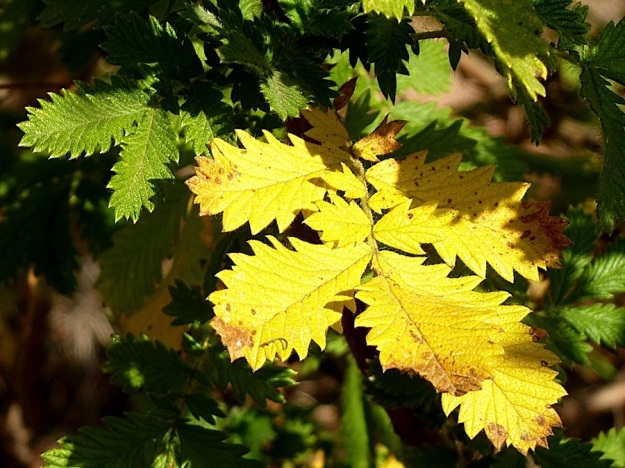Plant Leucosidea sericea yellow leaves