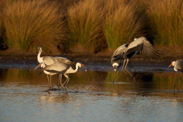 r Wattles dancing in water Kildare 1