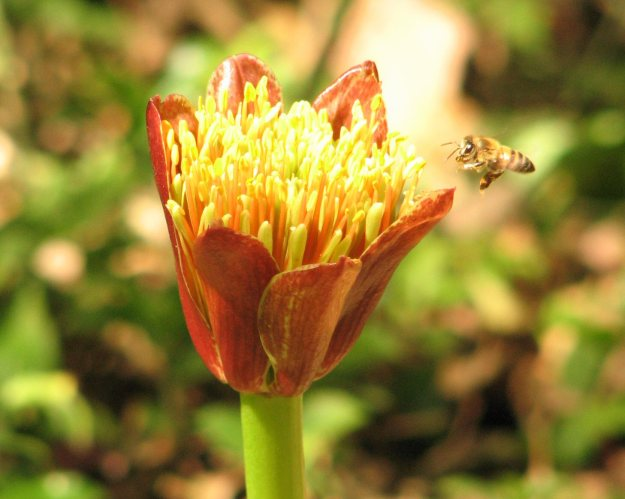 spring scadoxus