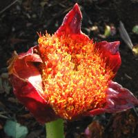 Midlands Wildflower for August - Scadoxus puniceus