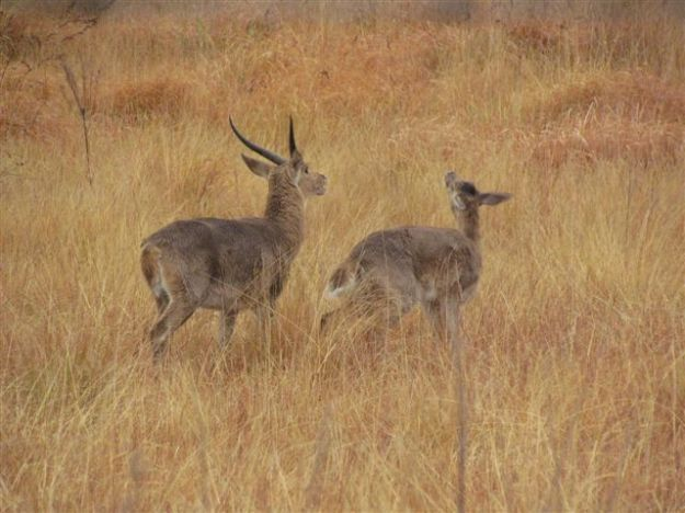 The male reed buck showing lots of interest while the female becomes coy