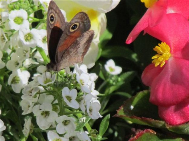 this moth took advantage, feeding off the alyssum which is sweet smelling and seems to attract them