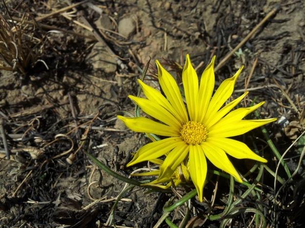 yellow daisy in burnt veld