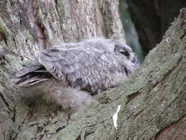 .Back view of owlet