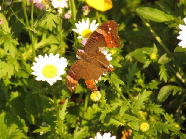 bedraggled butterfly