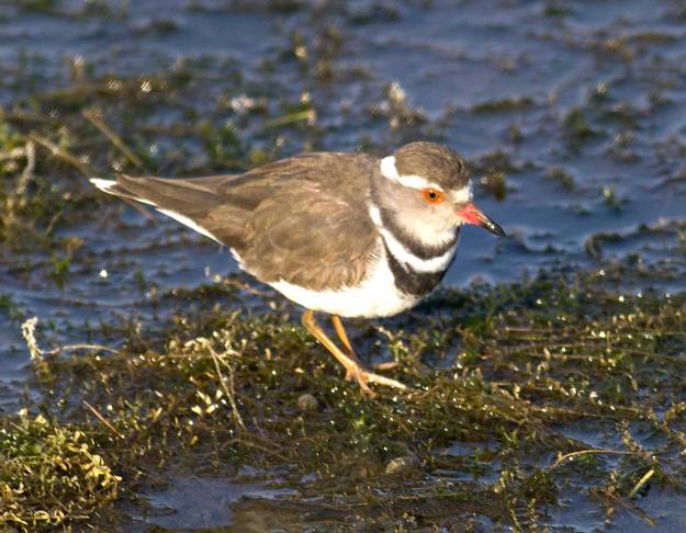 Boston_8994_Three-banded-Plover