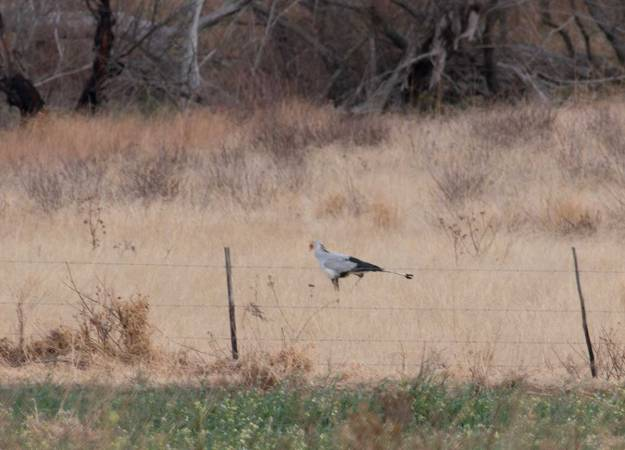 Boston_9452_Secretarybird
