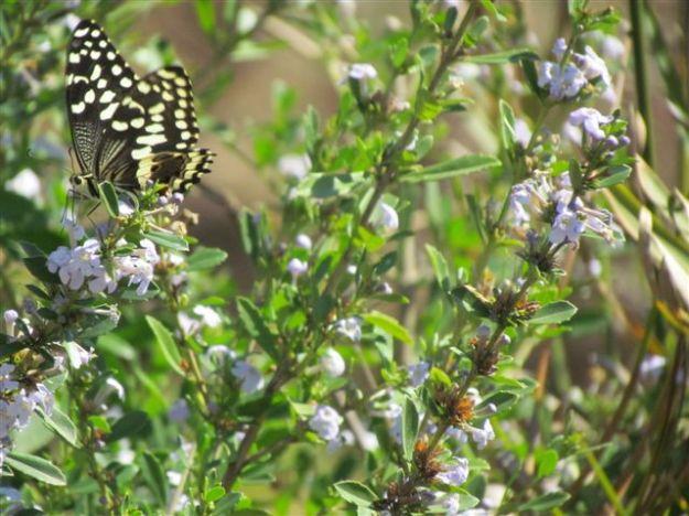 butterflies love the freylinia flowers