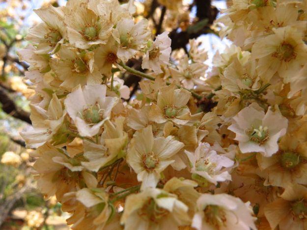 dombeya flowers