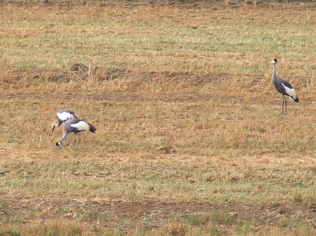 DSCF2677Three Grey Crowned Cranes