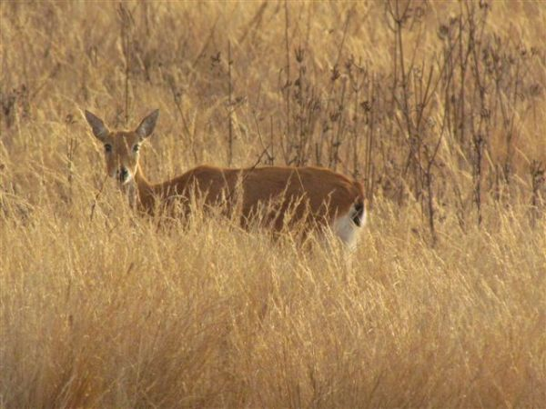 Female Oribi standing in tall grass.