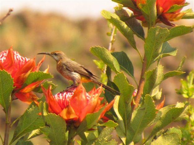 Gurney sugarbird feeding on warratah flowers.