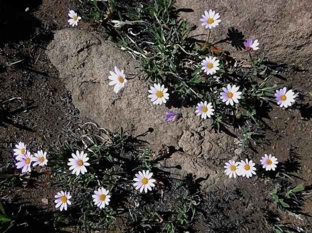 Plant Dimorphotheca jucunda