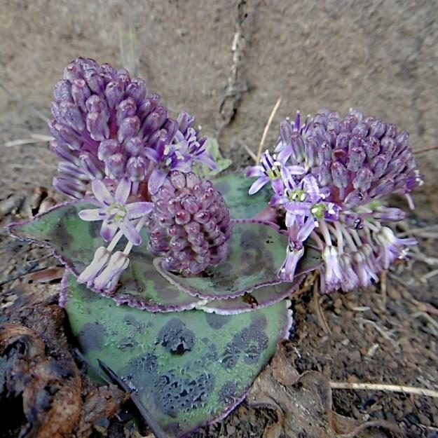 Plant Ledebouria obvatifolia