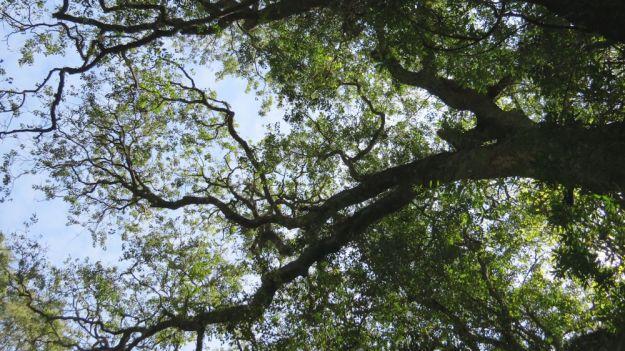 r canopy
