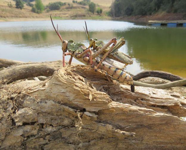 r dam locust