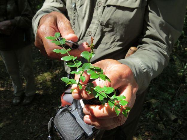 r hand leaf