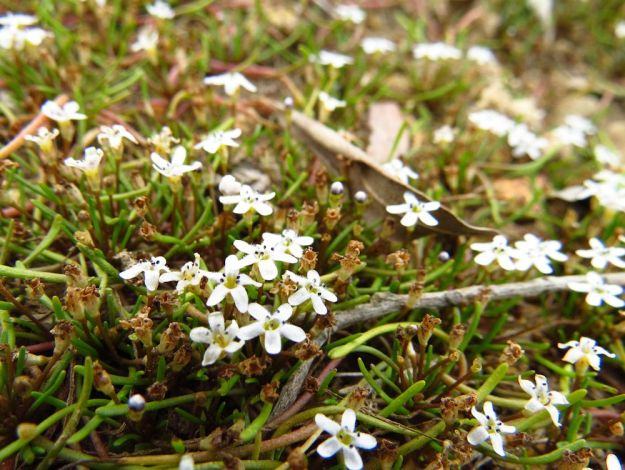 r limosella longiflora