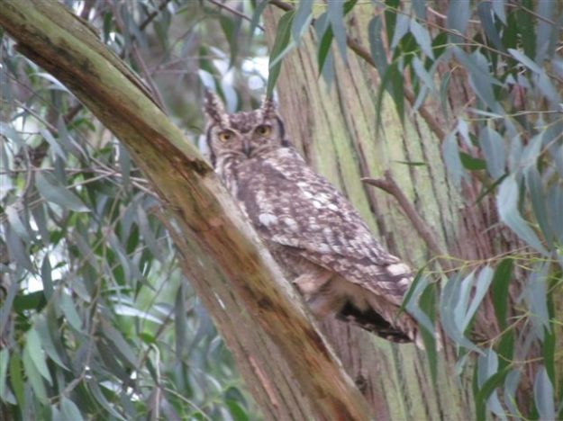 spotted eagle owl parents