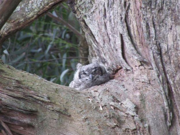sptted eagle owlet