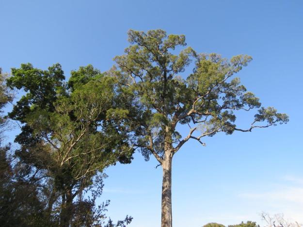 winter yellowwood