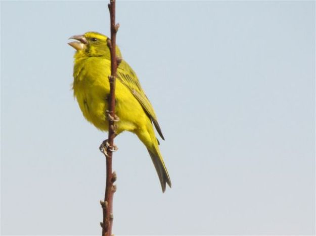 yellow eyed canary