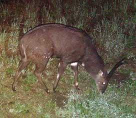bush buck ram