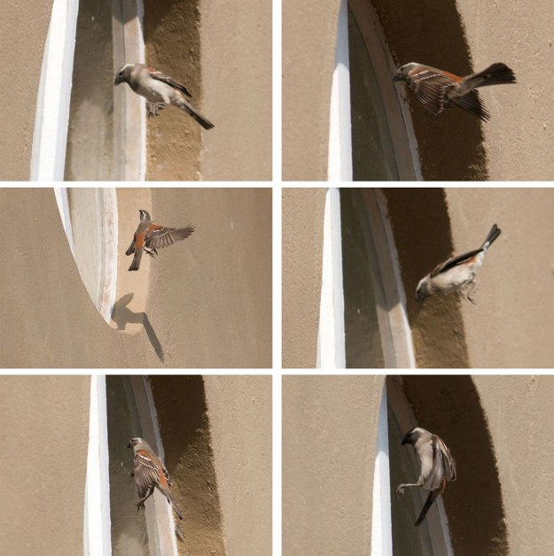 Cape-Sparrow_shadow-boxing_w