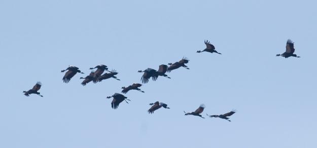 IMG_0594_Grey Crowned Crane