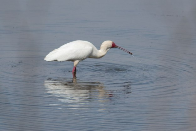 IMG_0816_African-Spoonbill