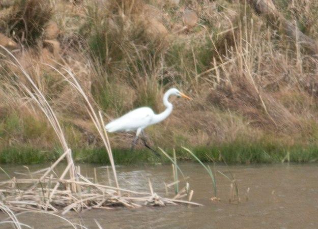 IMG_0903_Great-Egret