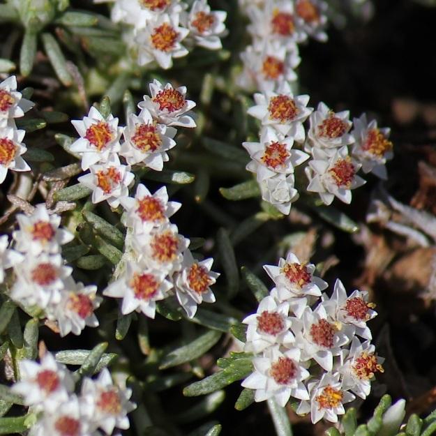 Plant Helicrysum caespititium