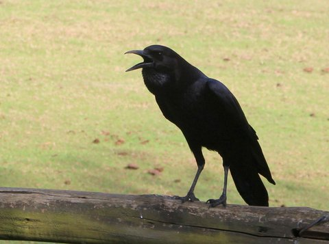 And the Crow is talking to me every morning